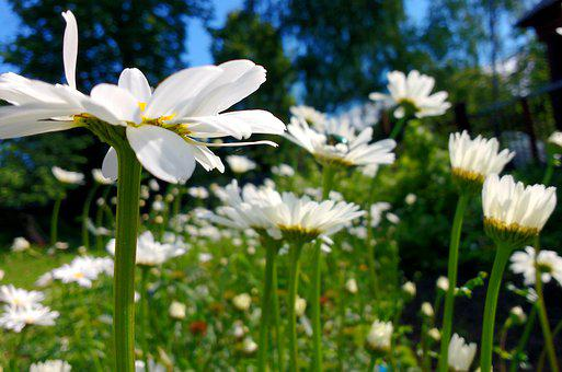 Chamomile, Flowers, Plants, White Flowers, Petals, Buds
