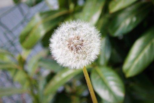Dandelion, Flower, Seeds, Seed Head, Blowball, Fluffy