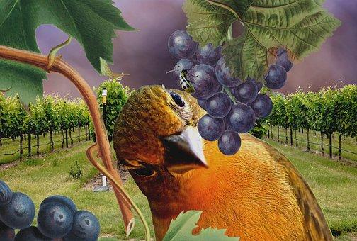 Grape Vines, Vineyard, Grapes, Insect, Bug, Bird