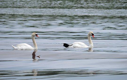 Swans, Couple, Pair, Birds, Waterfowl, Nature