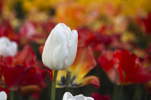 White Tulips, Coloring, Tulip, Background, Page