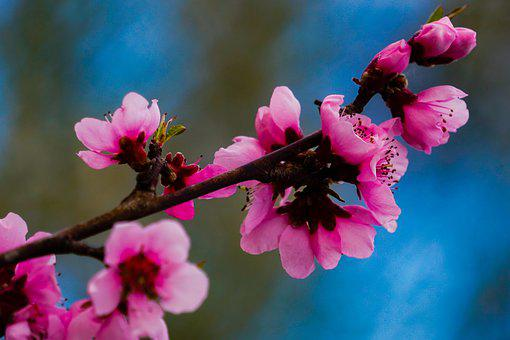 Flowers, Branch, Pink Flowers, Blossom, Cherry Blossoms