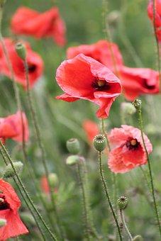 Poppy, Flowers, Meadow, Common Poppy, Red Poppy