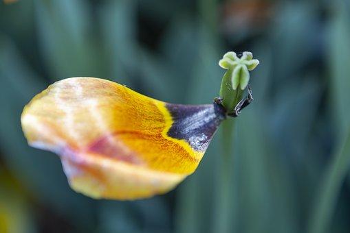 Tulip Petals, Flower, Blooming, Tulip, Coloring, Season