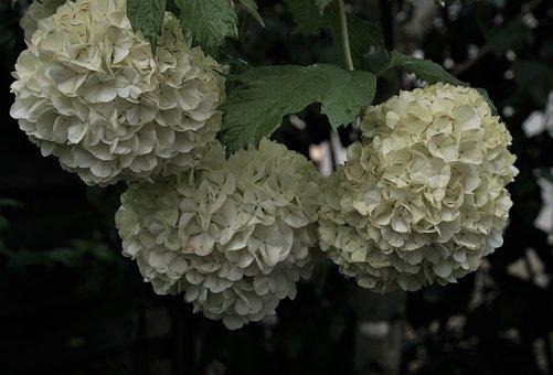 Hydrangea, Flowers, Snowball Bush