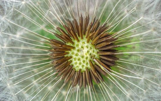 Dandelion, Seeds, Flower, Spring, Plant, Structure