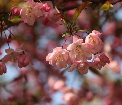 Flowers, Cherry Blossom, Petals, Branch, Tree, Spring