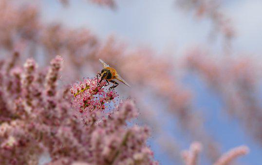 Tamaris, Tree, Pink, Fly, Insect, Branch, Plant, Spring