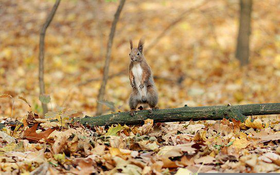 Squirrel, Rodent, Fall, Autumn, Leaves, Animal, Mammal