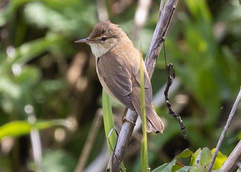 Sedge Warbler, Bird, Branch, Perched, Acrocephalus