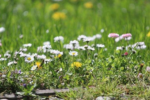 Daisies, Flowers, Meadow, Bloom, Wildflowers, Grass