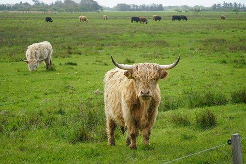 Highland Cattle, Expensive, Farm, Grassland, Eng