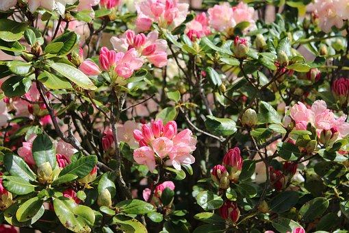 Rhododendron, Plant, Bush, Spring, Flower, Bloom