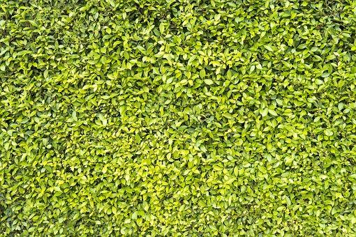 Leaves, Plant, Hedge, Bush, Foliage, Greenery, Green