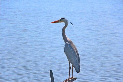 Grey Heron, Bird, Lake, Perched, Heron, Wading Bird