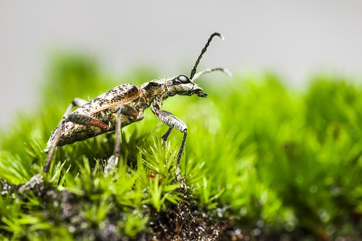 Black-spotted Longhorn Beetle, Beetle, Insect