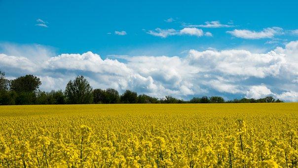 Landscape, Rural Scene, Rapeseed, Field, Forest
