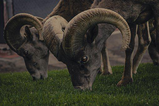 Bighorn Sheep, Ram, Pasture, Grazing, Sheep, Bighorn