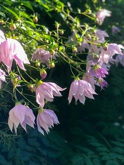 Flowers, Petals, Tree, Dahlias, Dahlia Imperialis