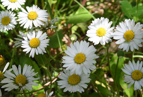 Daisy, Flowers, Plants, White Flowers, Petals, Bloom