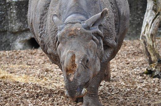Rhinoceros, Animal, Zoo, Rhino, Mammal, Wildlife