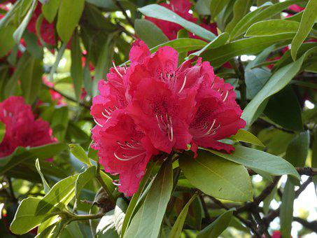Flower, Rhododendron, Tree, Fuxia