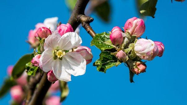 Apple Blossom, Contrast, Sky, Blue, Apple Tree, Nature