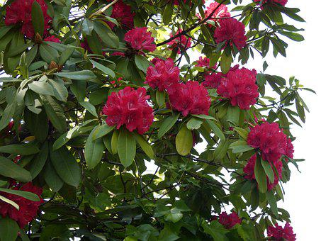 Flowers, Tree, Rhododendron, Fuxia