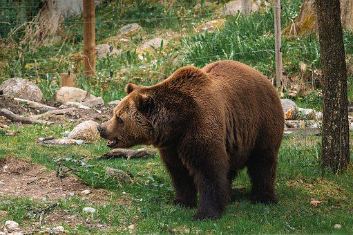 Bear, Bears, Beast, Animal, Park, Zoo, Reserve, Wild