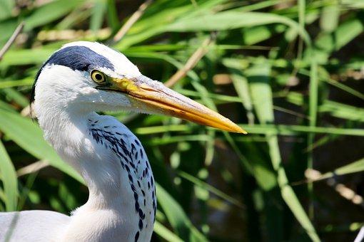 Bird, Gray Heron, Stork, Oriental Stork