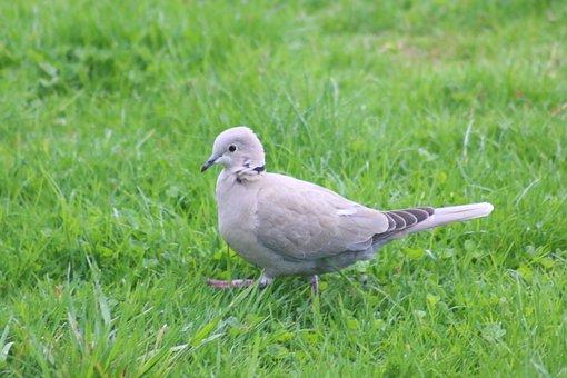 Dove, Ringdove, Bird, Intervention, Goose Step