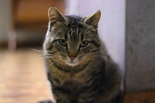 Cat, Pet, Portrait, Animal, Tabby, Gray Tabby