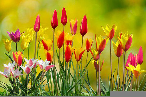 Flowers, Tulips, Flower Bed, Colorful, Garden, Spring