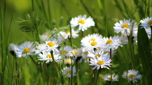 Flowers, Daisies, Meadow, Garden, Nature