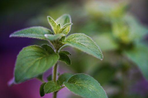 Oregano, Herbs, Green, Spice, Plant, Food, Fresh, Aroma