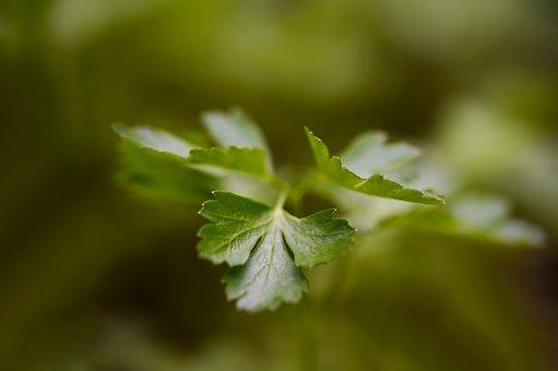 Parsley, Herbs, Plant, Herb, Fresh, Culinary Herbs