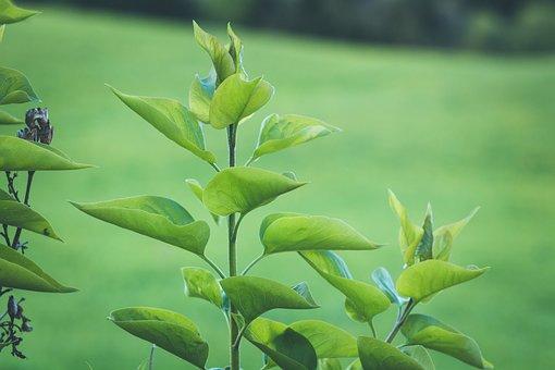 Lilac, Leaves, Plant, Foliage, Greenery, Spring, Bush