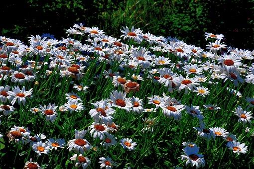 Flowers, Daisies, Spring, Meadow