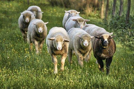Sheep, Bellwether, Wool, Meadow, Grass, Landscape