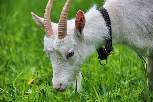 Goat, Mammal, White Goat, Pasture, Horns, Agriculture