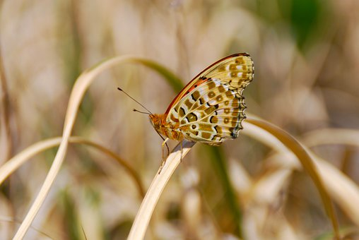 Fritillary Butterfly, Butterfly, Grass, Insect