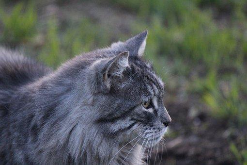Cat, Furry, Pet, Feline, Mammal, Animal, Gray Cat