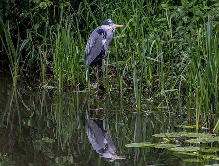 Grey Heron, Bird, Lake, Grass, Heron, Wading Bird