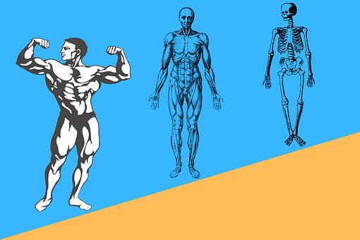 Human, Human Body, Fitness, Health, Man, Anatomy