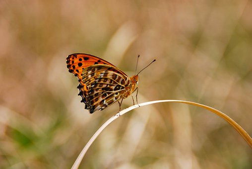 Fritillary Butterfly, Butterfly, Grass, Insect, Wings
