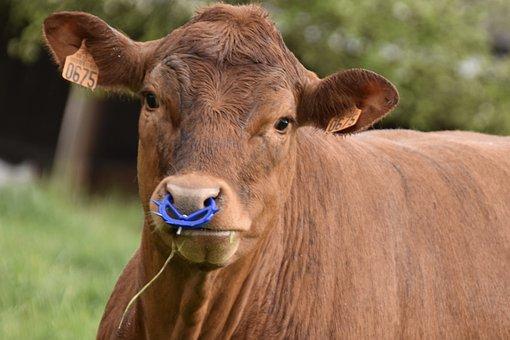 Cow, Animal, Weaning Ring, Livestock, Nose Ring