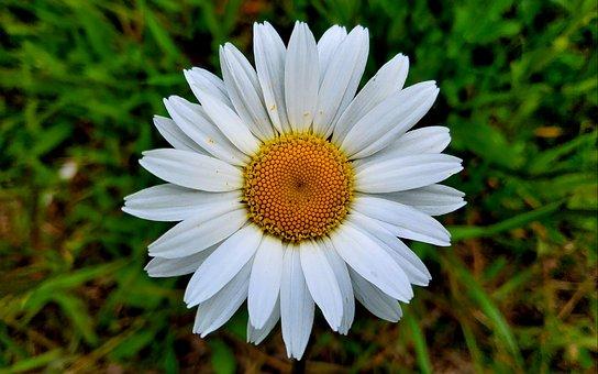 Daisy, Flower, Plant, Marguerite, White Flower, Petals