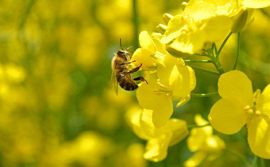 Bee, Insect, Rapeseed, Flowers, Honey Bee, Pollination