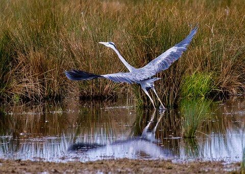 Grey Heron, Bird, Flying, Heron, Animal, Predator