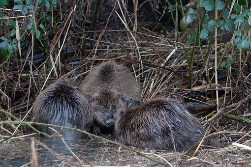 Beavers, The City Of Gorinchem, Refuge
